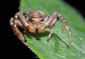 Pitfalls in spider identification