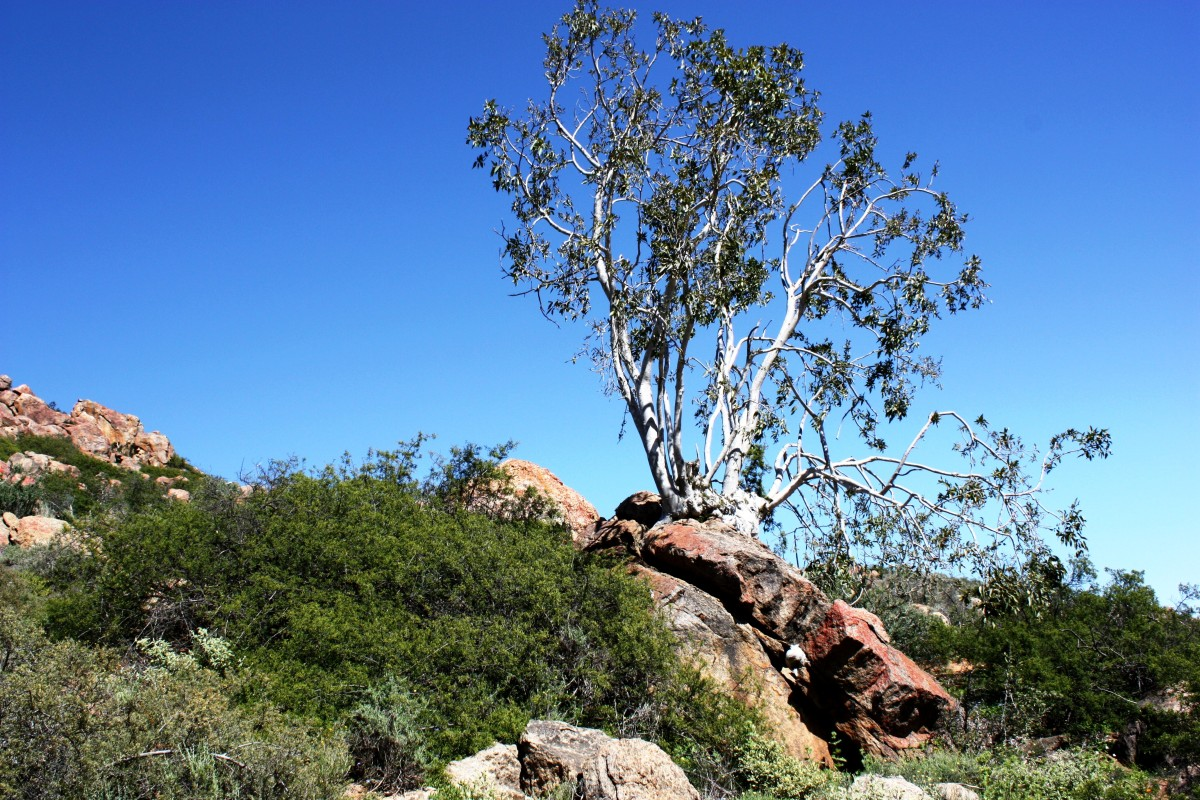 Namaqua rock fig