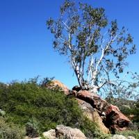 Namaqua rock fig