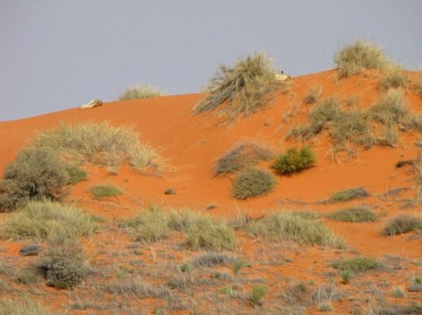 Kalahari dunes, southern Kgalagadi Transfrontier Park. ©WMB/notesfromafrica.wordpress.com