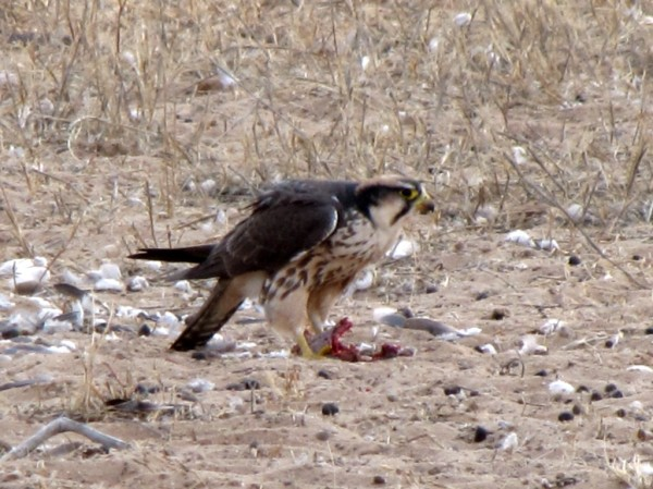 """A Lanner Falcon enjoying its lunch - or more accurately """"brunch"""" in the Kgalagadi Transfrontier Park. ©WMB/notesfromafrica.wordpress.com"""