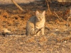 African Wildcat  in the Kalahari