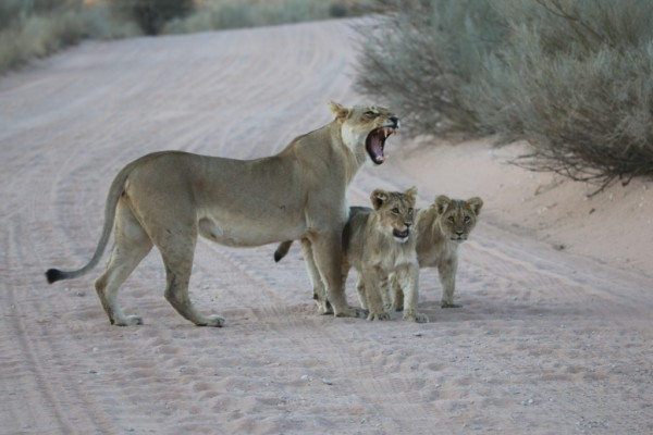 Lioness with cubs - Kgalagadi Transfrontier Park, August 2014