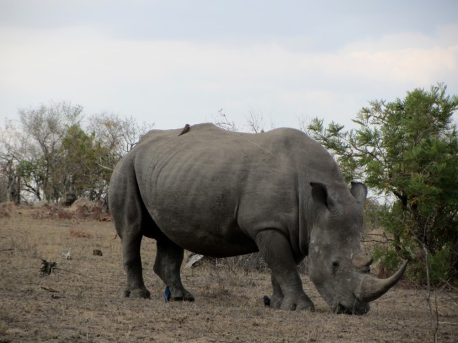 Our first rhino sighting in the Kruger National Park. August 2016