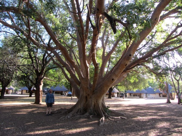Big tree in the Letaba rest camp. ©LB/notesfromafrica.wordpress.com