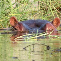 Postcards from Kruger: Hippos