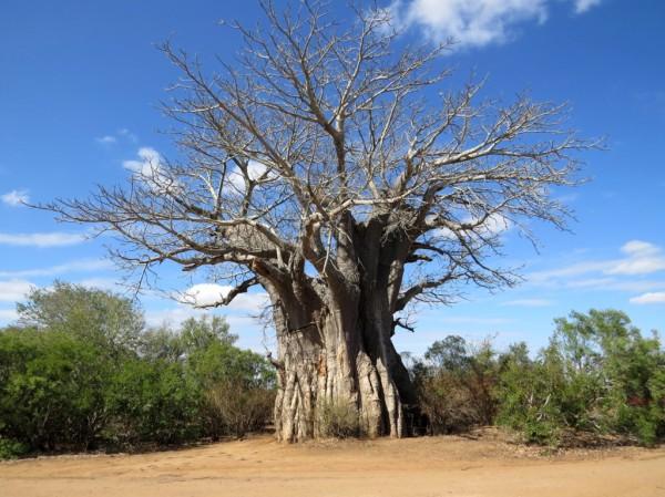 Huge Baobab Tree near the Satara camp. ©LB/notesfromafrica.wordpress.com