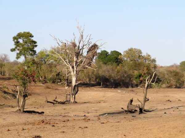 Central Kruger near Satara - it is very dry at the moment and reminds me of the Kalahari. ©LB/notesfromafrica.wordpress.com