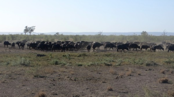 A huge herd of buffalo in the early morning. ©WMB/notesfromafrica.wordpress.com