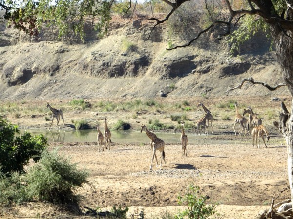 A herd of giraffe so big they could not captured in one image. ©WMB/notesfromafrica.wordpress.com
