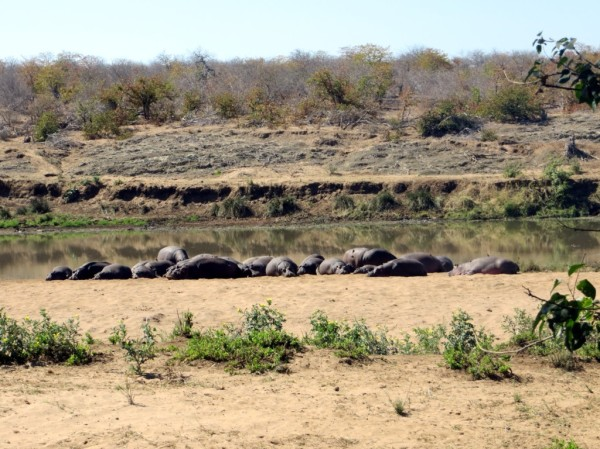 Large group of hippos sunning themselves on a river bank. ©WMB/notesfromafrica.wordpress.com