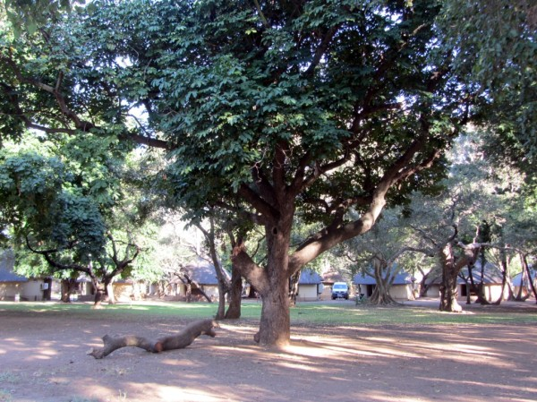Letaba camp: view of the residential area of the camp. Note the beautiful big trees. ©LB/notesfromafrica.wordpress.com