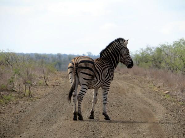 Zebra Crossing! ©WMB/notesfromafrica.wordpress.com
