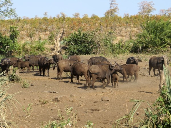 Buffalo at the waterhole on the left side of the road. ©LB/notesfromafrica.wordpress.com