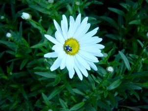 Tiny bug on daisy ©LB/notesfromafrica.wordpress.com